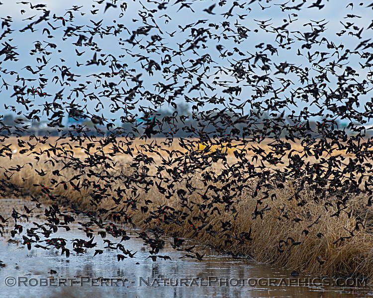 Agelaius phoeniceus Red-winged blackbird murmurations 2020 11-18 Yolo ByPass-037