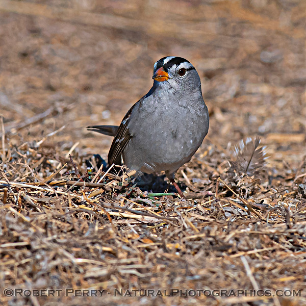 Zonotrichia leucophrys White-crowned sparrow 2020 12-01 Sac NWR--007