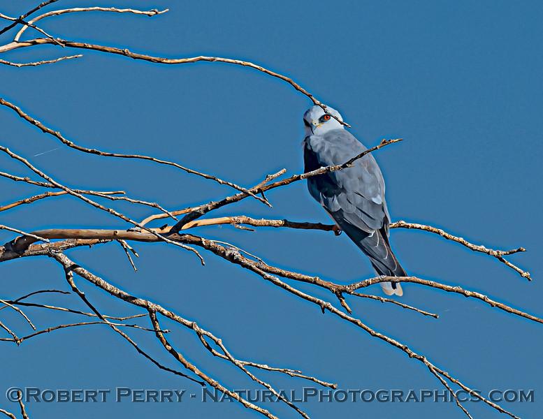 Elanus leucrurus White-tailed kite 2020 12-01 Sac NWR--043