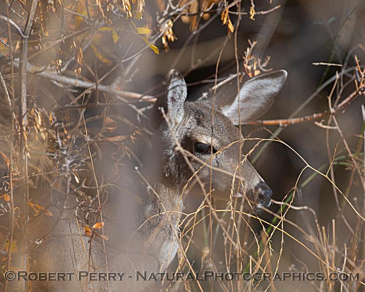 Odocoileus hemionus Mule deer in dry brush 2020 12-01 Sac NWR--001