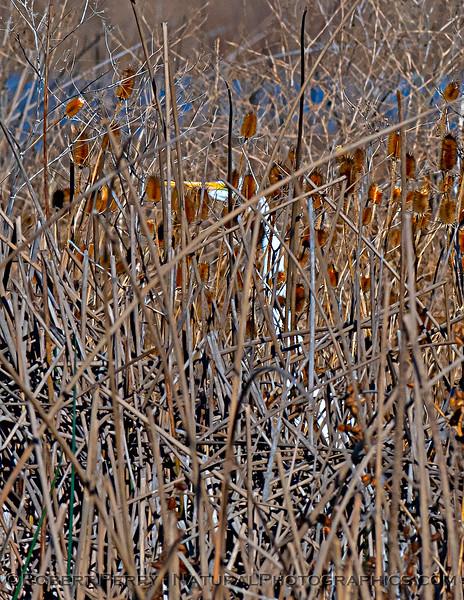 Ardea herodias Great white egret hiding in dry reeds 2020 12-01 Sac NWR--004