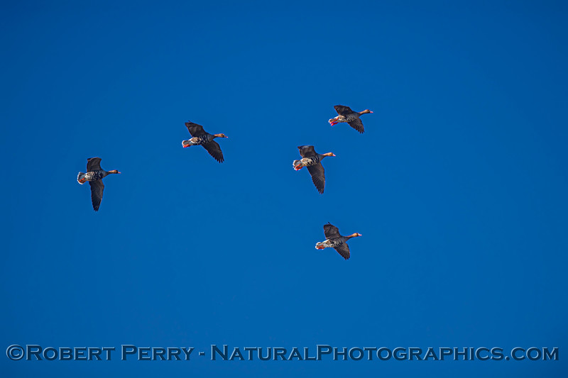 Anser albifrons 5 in flight 2020 12-10 Colusa NWR-d-014