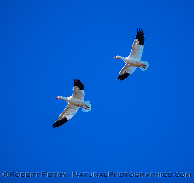 Chen caerulescens 2 in flight close 2020 12-10 Colusa NWR-e-043