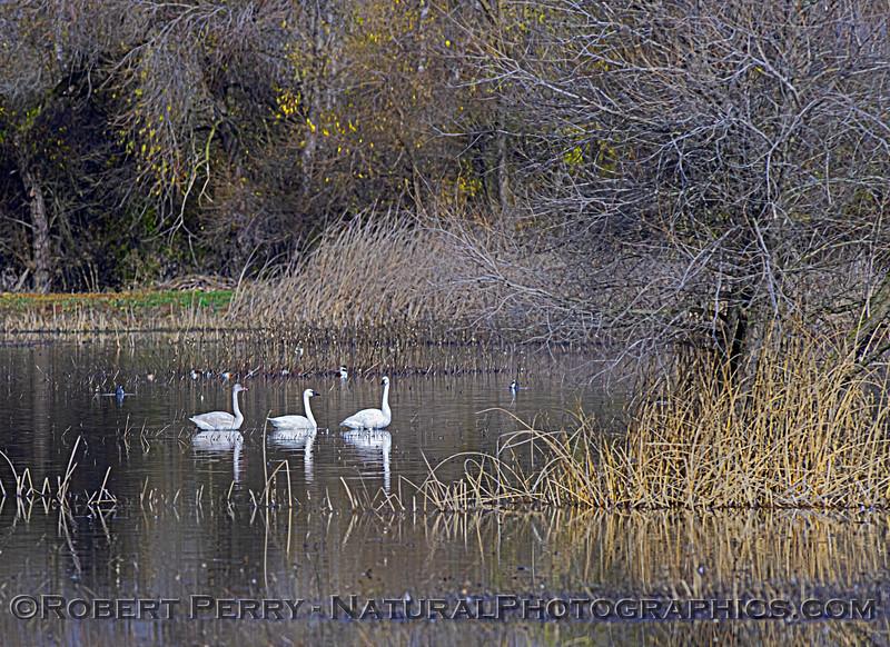 wetlands scenery with Cygnus columbianus Tundra swans 2020 12-26 San Luis NWR--008
