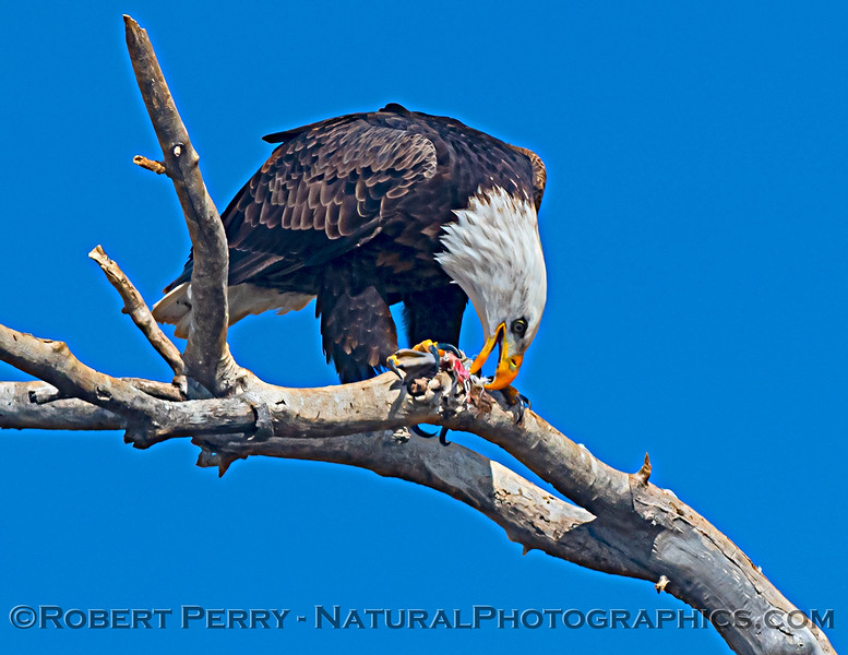 Haliaeetus leucocephalus Bald eagle feeding 2020 12-30 Sac NWR--229