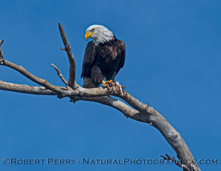 Haliaeetus leucocephalus Bald eagle feeding nictitating membrane 2020 12-30 Sac NWR--417