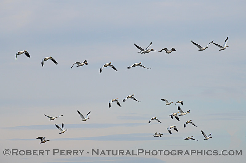 Chen caerulescens flock in flight 2020 12-30 Sac NWR--102