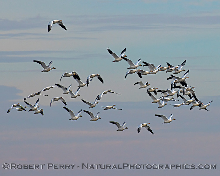 Chen caerulescens flock in flight 2020 12-30 Sac NWR--162
