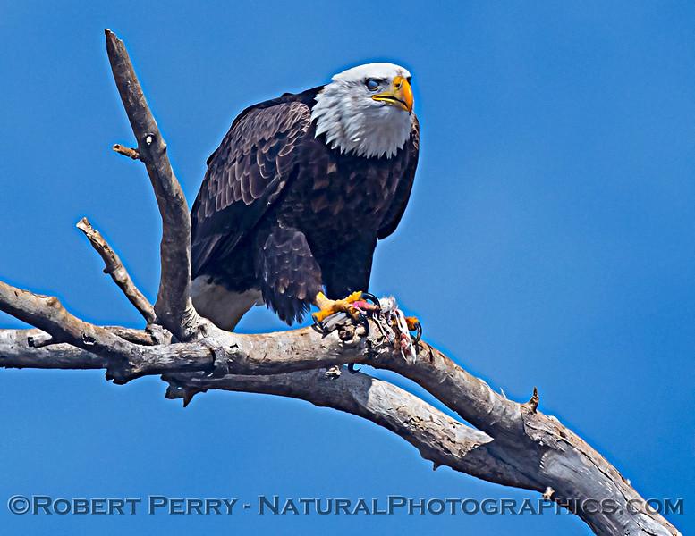 Haliaeetus leucocephalus Bald eagle feeding nictitating membrane 2020 12-30 Sac NWR--397
