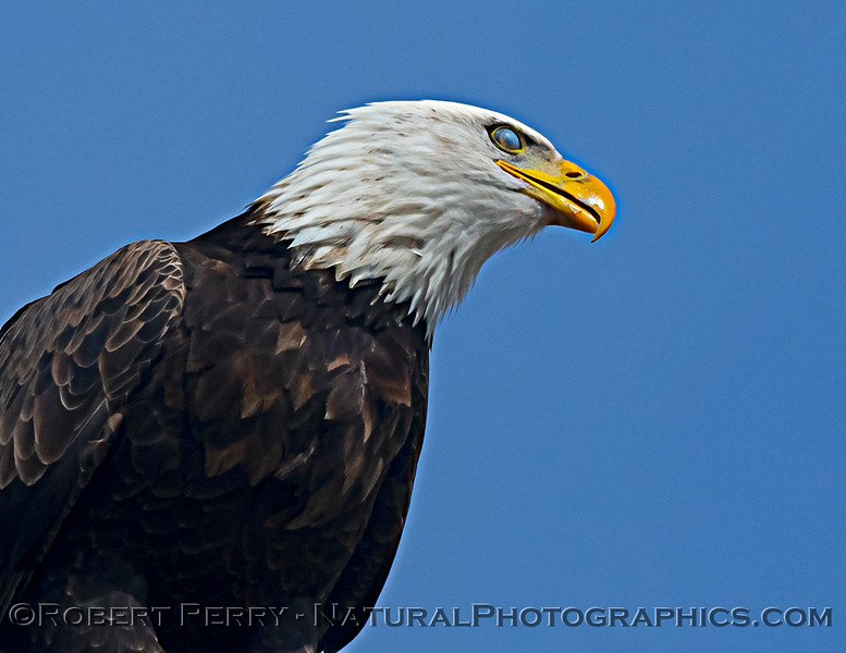 Haliaeetus leucocephalus Bald eagle nictitating membrane 2020 12-30 Sac NWR--928