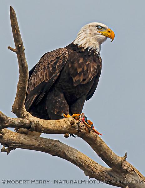 Haliaeetus leucocephalus Bald eagle nictitating membrane 2020 12-30 Sac NWR--707