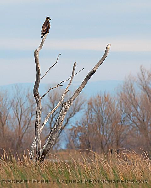 Haliaeetus leucocephalus JUV on tall stump 2021 01-31 Sac NWR-006