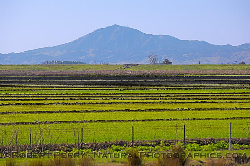 Mount Diablo across green fields 2021 02-04 Staten Isl-b-003