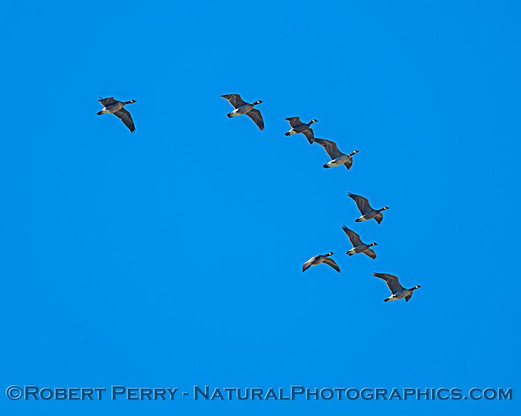 Branta canadensis flock in flight 2021 02-04 Staten Isl--036