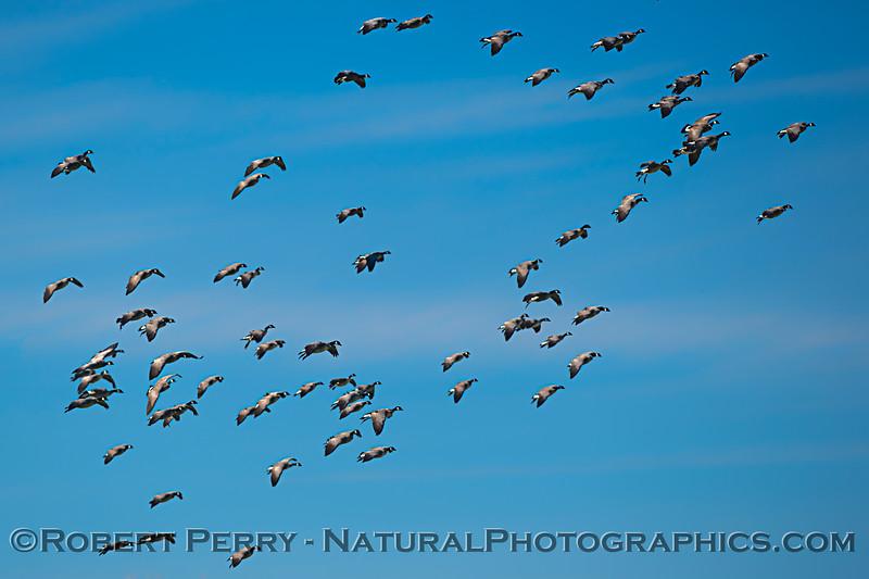 Branta canadensis flock preparing to land 2021 02-04 Staten Isl--072