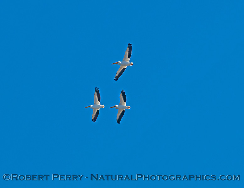 Pelecanus erythrorhynchos 3 in flight 2021 02-05 Yolo ByPass-b-057