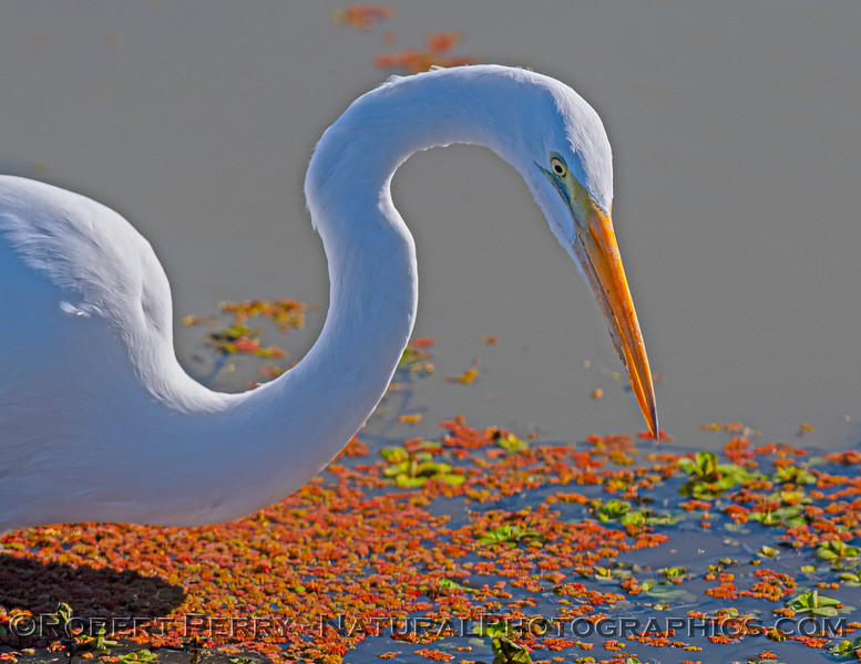 Ardea alba CLOSE feeding 2021 02-05 Yolo ByPass-b-019