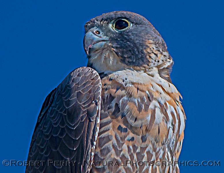Falco peregrinus 2021 03-01 Yolo ByPass-033