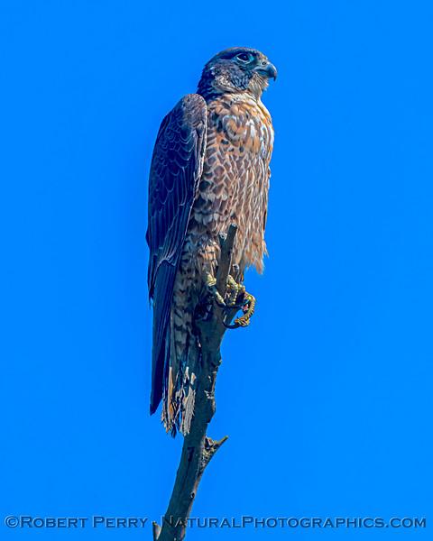 Falco peregrinus VERTICAL 2021 03-01 Yolo ByPass-039