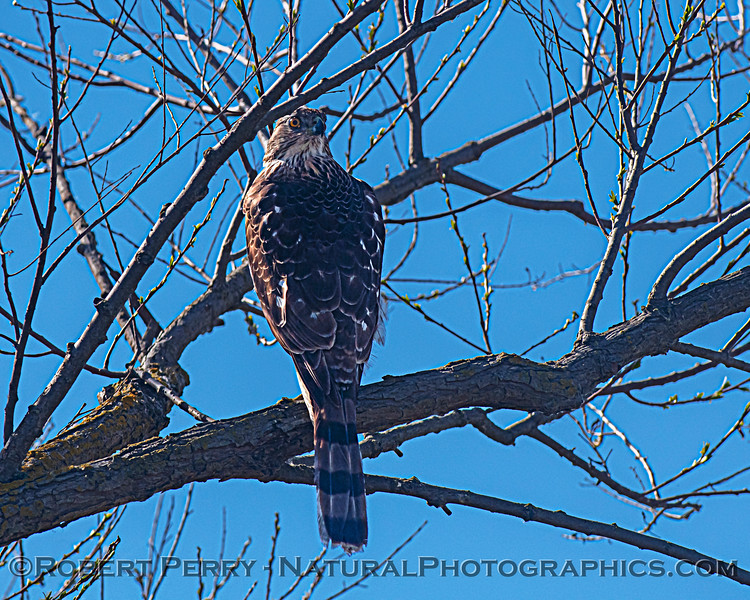 Accipiter cooperii JUV in tree 2021 03-01 Yolo ByPass-002