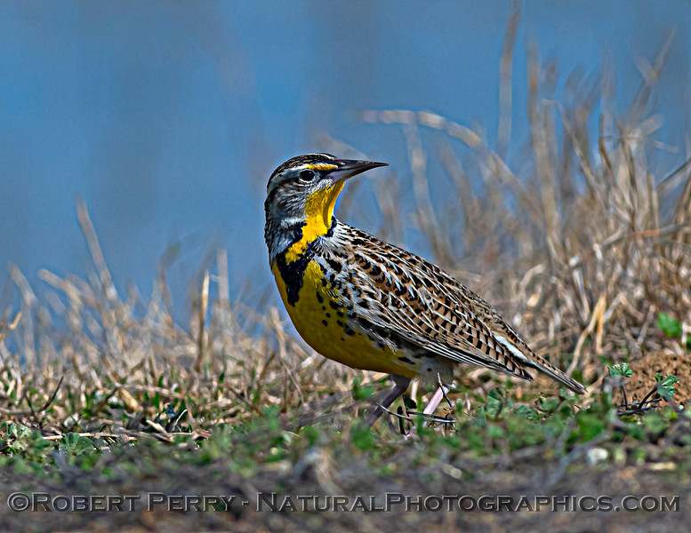 Sturnella neglecta Western meadowlark on ground 2021 03-02 Sac NWR-015