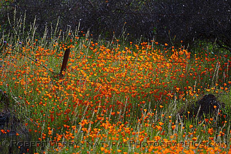 Eschscholzia californica California poppy 2021 04-02 Hwy 49-006