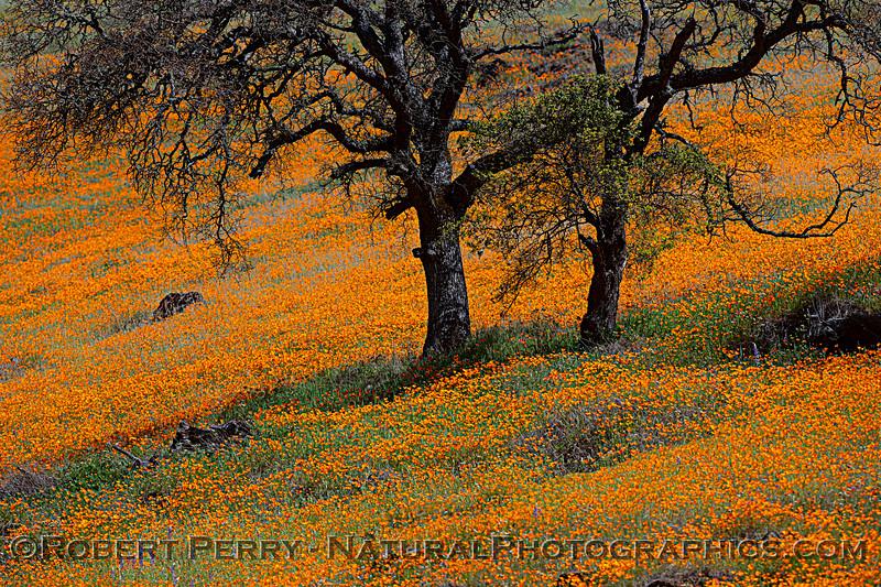 Eschscholzia californica California poppy 2021 04-02 Hwy 49-002