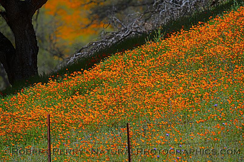 Eschscholzia californica California poppy 2021 04-02 Hwy 49-068