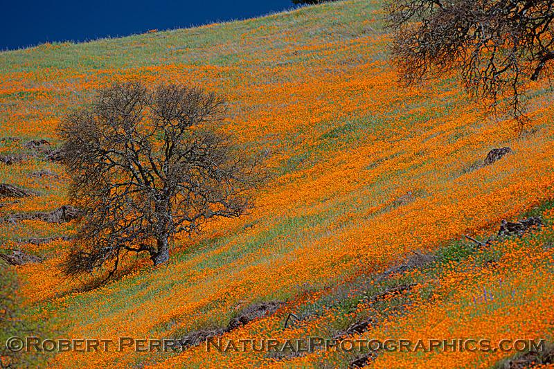 Eschscholzia californica California poppy 2021 04-02 Hwy 49-009