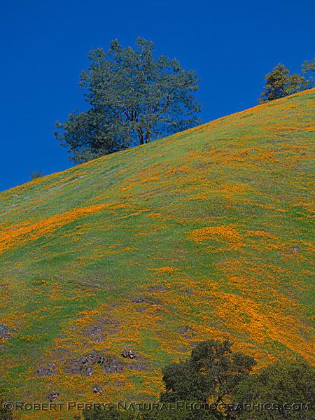Eschscholzia californica California poppy 2021 04-02 Hwy 49-023