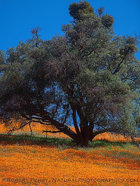 Eschscholzia californica California poppy 2021 04-02 Hwy 49-003