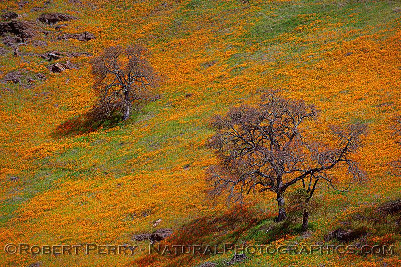 Eschscholzia californica California poppy 2021 04-02 Hwy 49-059