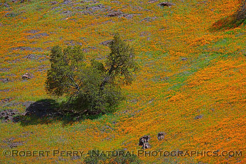 Eschscholzia californica California poppy 2021 04-02 Hwy 49-054