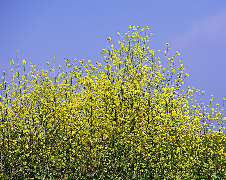 Wild mustard.