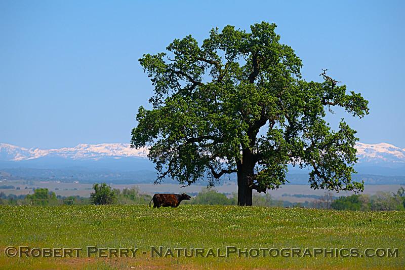 Boz taurus cow tree snow Sierras 2021 04-18 Meiss Rd-007