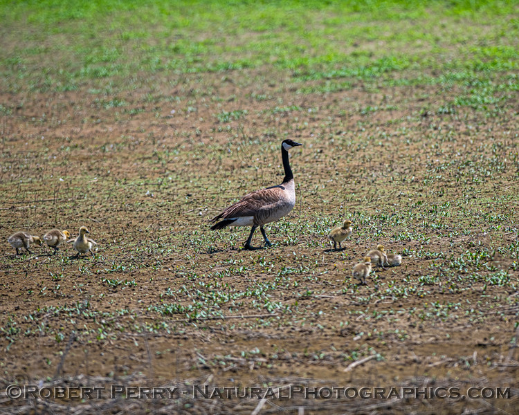 Canada goose mom with her chicks.