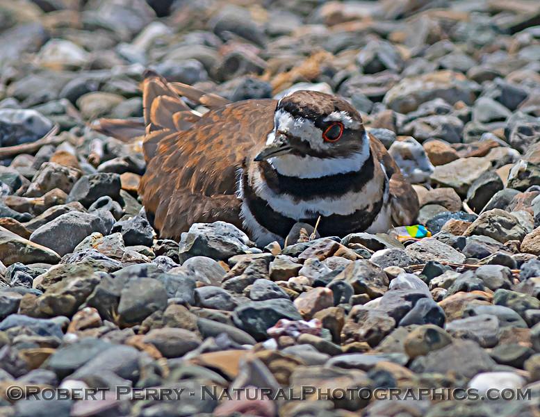 Mother killdeer on gravel nest.