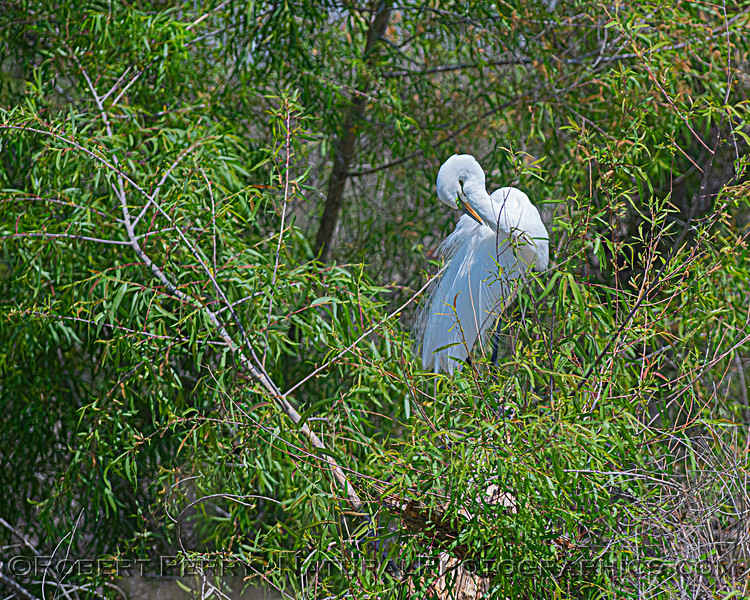 Great white egret in tree.