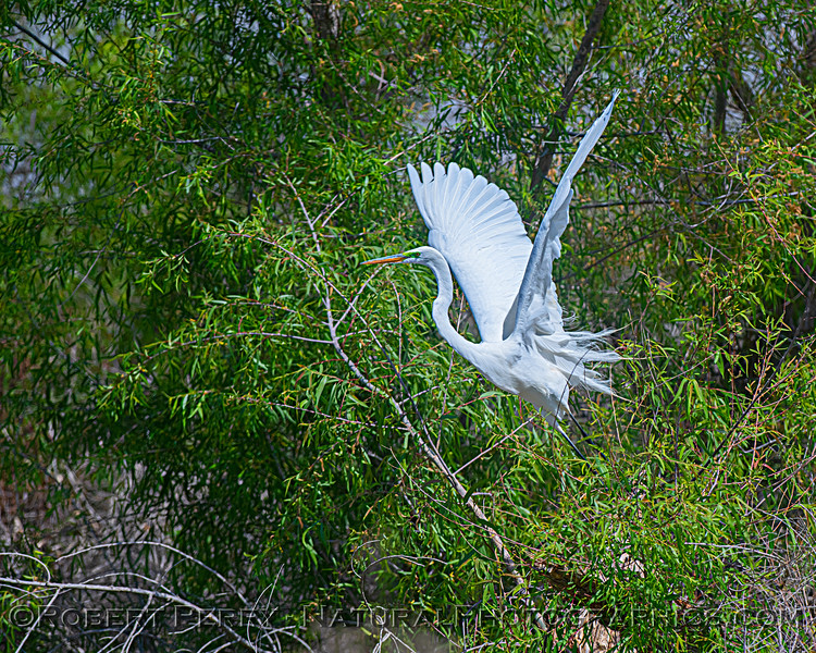 Great white egret takes off from tree.