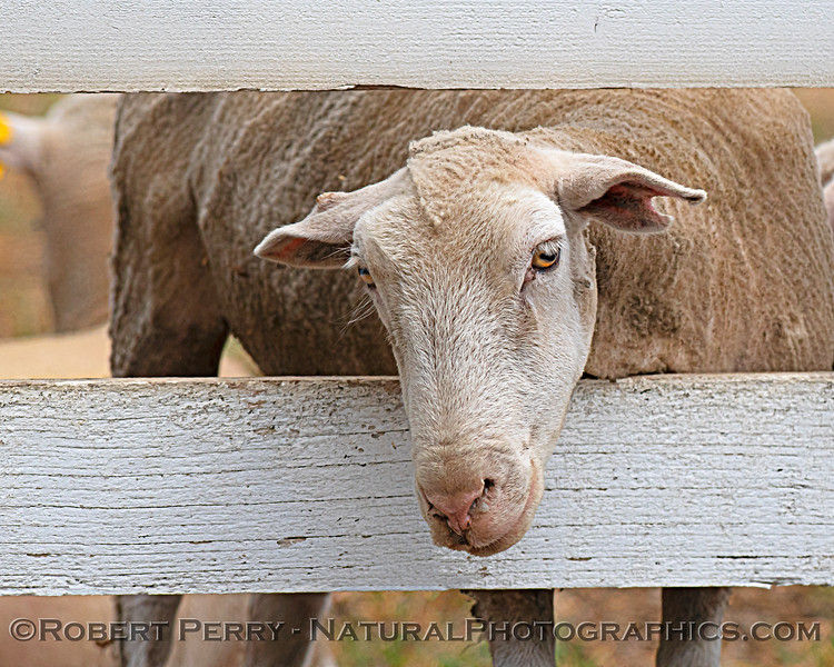 Ovis aries sheep with head through fence 2021 04-25 Colusa Cnty-005