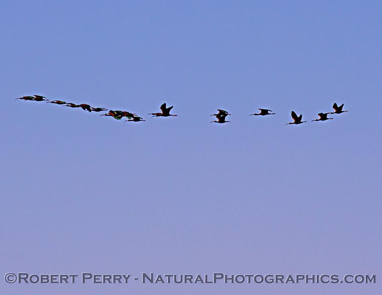 Plegadis chihi Ibis flock in flight 2021 05-01 Yolo Cnty--015