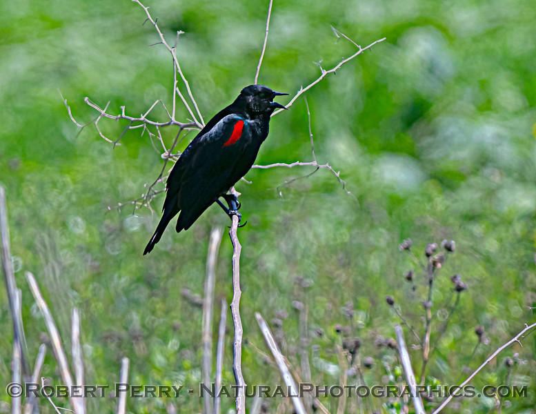 Agelaius phoeniceus Red-winged blackbird 2021 05-01 Yolo Cnty--002