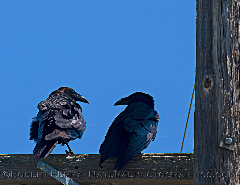 Corvus corax 2 ravens on telephone pole 2021 05-01 Yolo Cnty--002