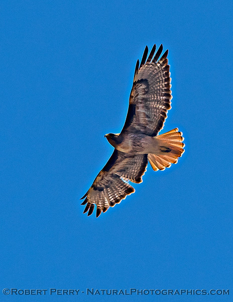 Buteo jamaicensis in flight 2021 05-01 Yolo Cnty--022