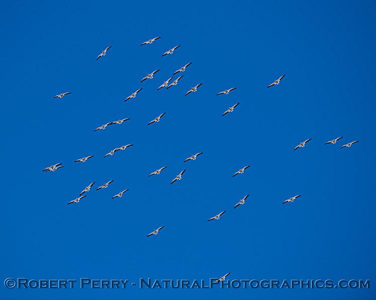 Pelecanus erythrorhynchos flock in flight 2021 05-05 Gray Lodge--022
