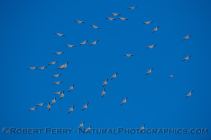 Pelecanus erythrorhynchos flock in flight 2021 05-05 Gray Lodge--071