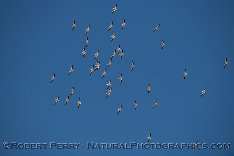 Pelecanus erythrorhynchos flock in flight 2021 05-05 Gray Lodge--030