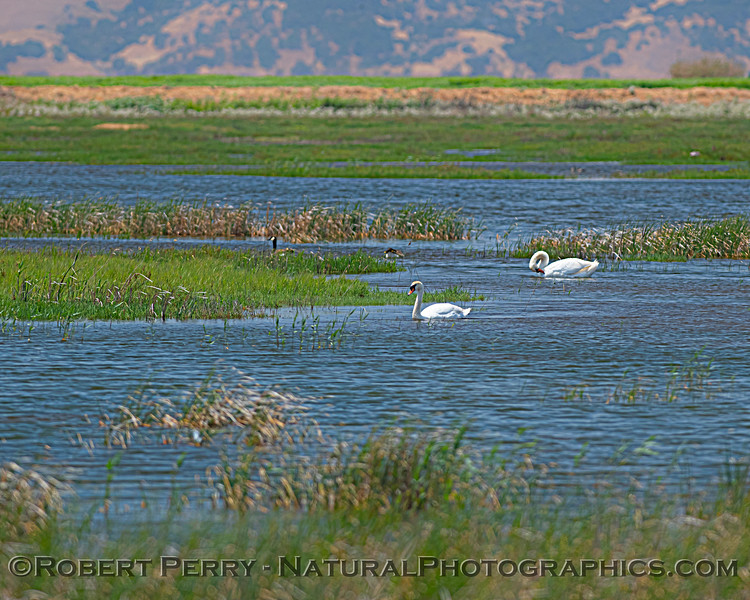 wetlands scene with Mute swans