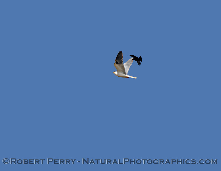 White-tailed kite under aerial attack by territorial Red-winged blackbird.
