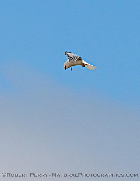 White-tailed kite.